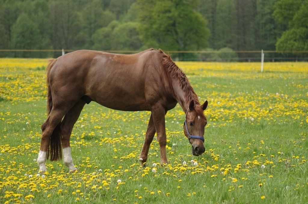 1.5.14 Pferd in Butterblumen