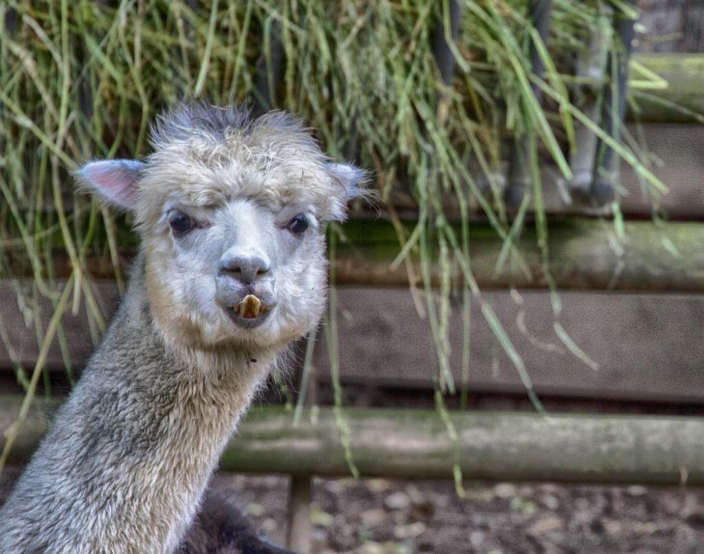 Alpaka mit trendy Haarstyl