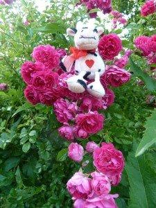 26.6.14 Kuh weiß über Rosen bescheid